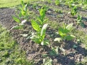 Раннее цветение табака
