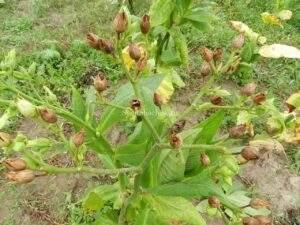 Созревшие семена табака