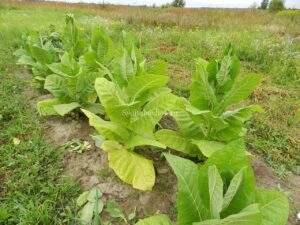 Второй урожай табака сорта Ароматный