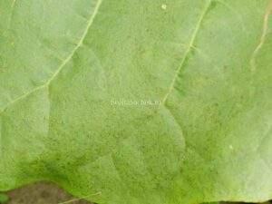 Спелый лист махорки
