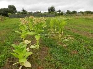 Выращивание домашнего табака