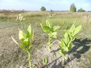 Семена табака Трапезонд 182