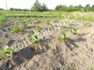 Табак в поле