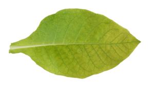 Лист с дефицитом марганца