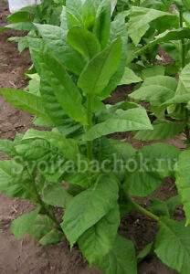 Сорта табака из Болгарии
