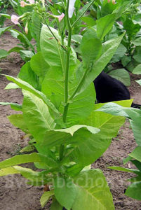 Сорта табака Мериленд