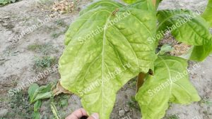 Спелый лист табака Герцеговина флор