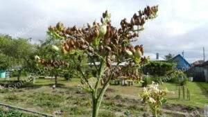 Зрелые семена табака