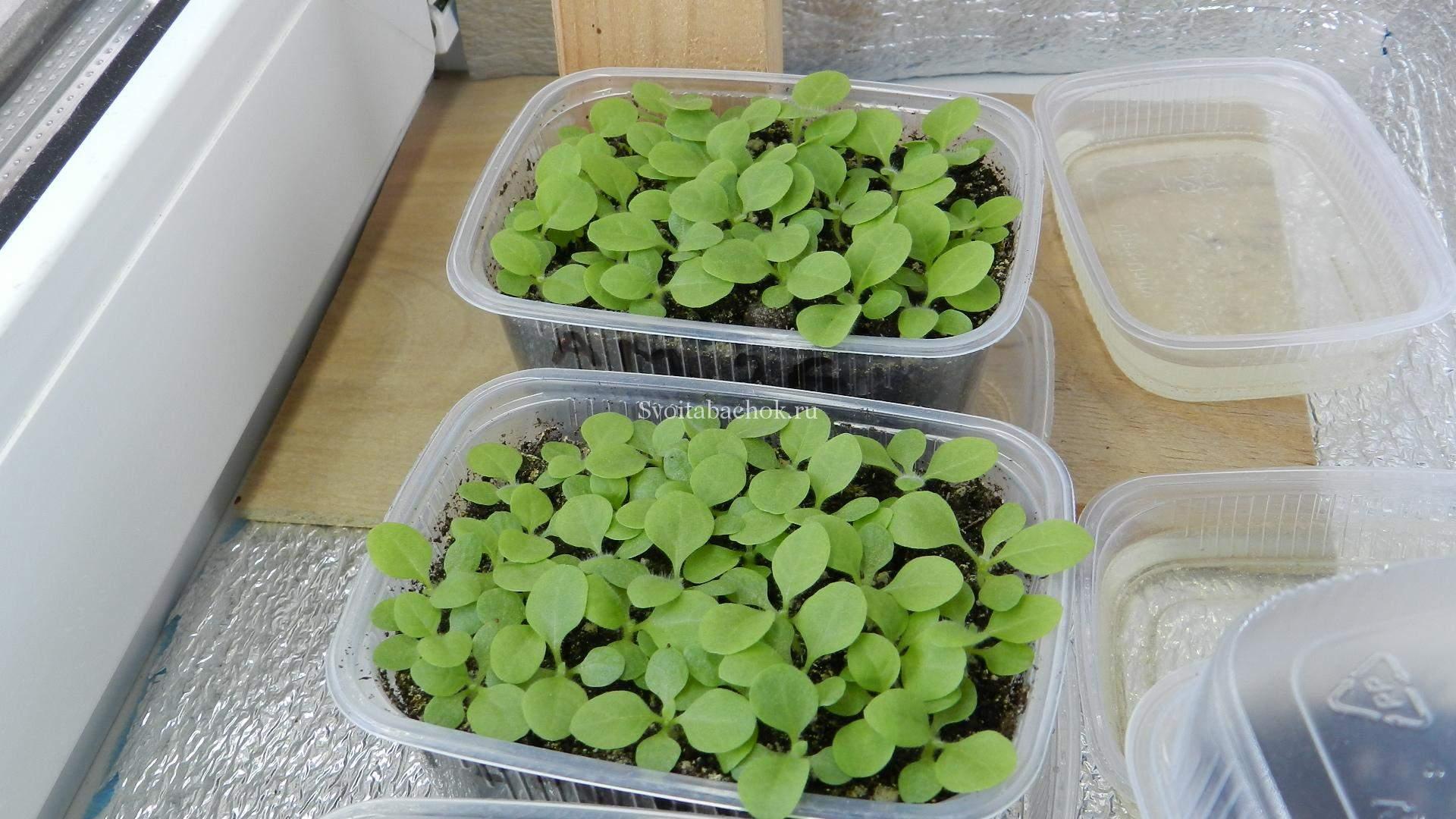 Выращивание и обработка табака в домашних условиях 87