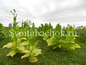 Уборка листьев табака