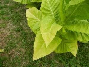 как определить спелость листьев табака