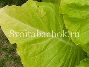 спелый лист табака фото