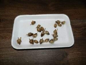 коробочки с семенами табака