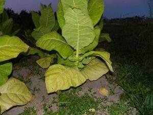 Нижние листы табака созрели