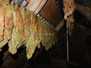 зеленый лист табака