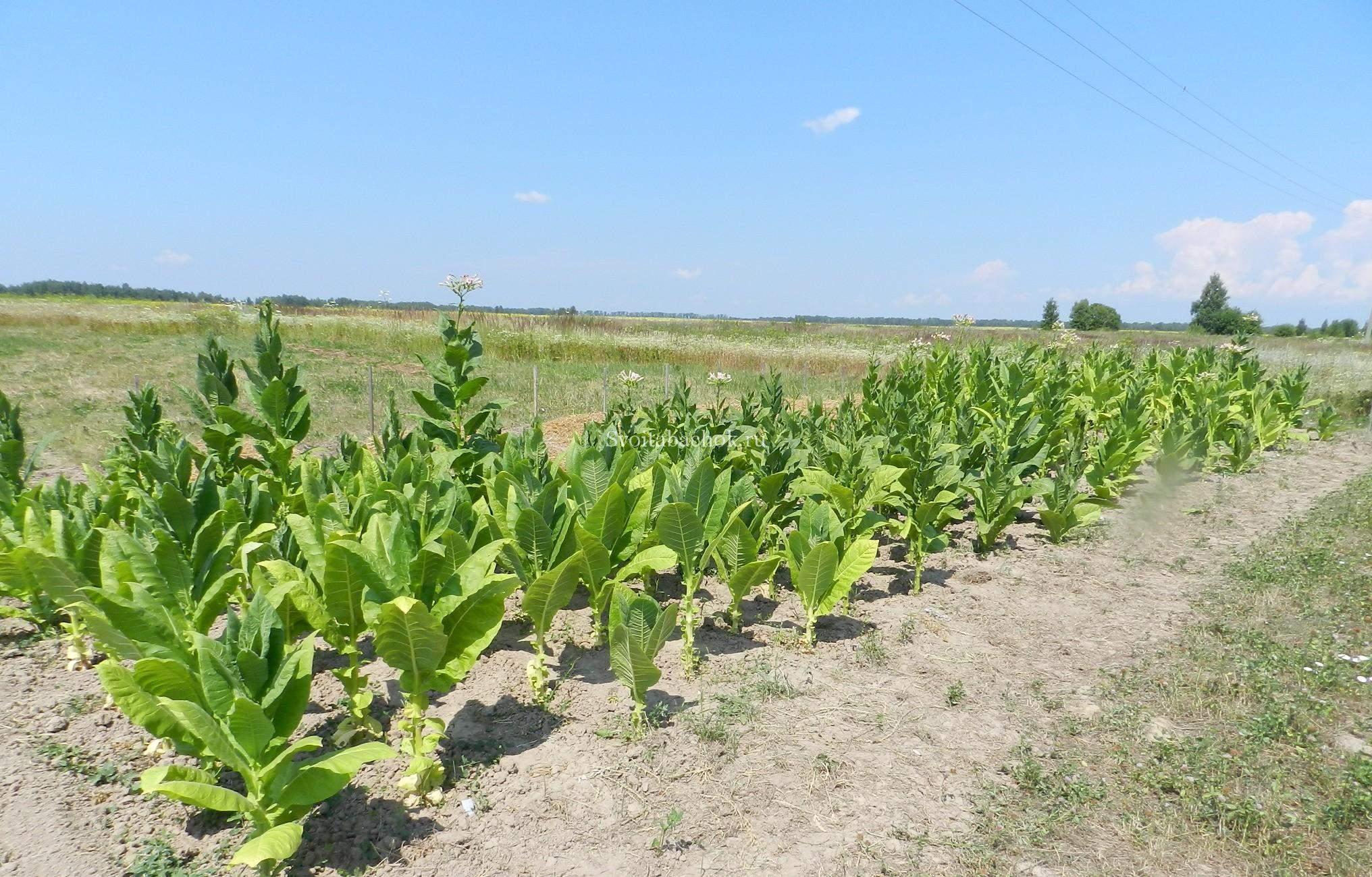 Выращиваем табак 51