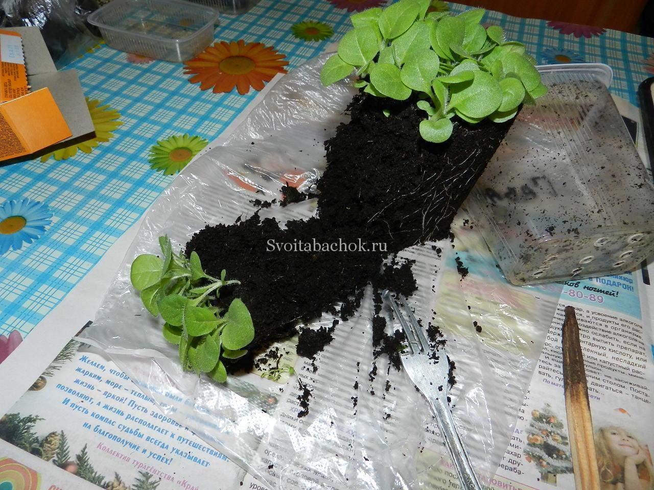 Табак фото цветов рассада когда сажать