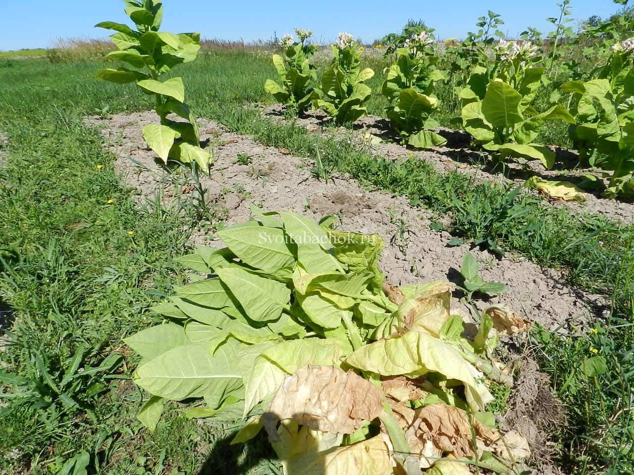 Выращивание и обработка табака в домашних условиях 8