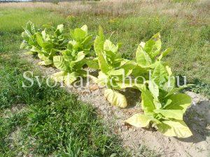 Второй урожай табака