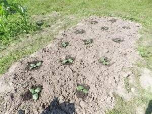 Высадка махорки в поле