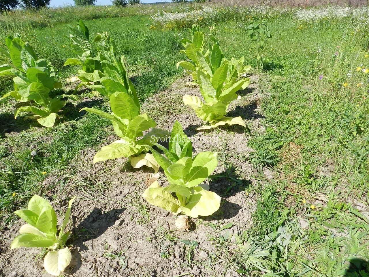 Выращиваем табак 31