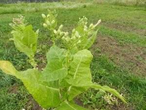 Вызревание семян табака