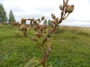 Семена табака померзли