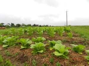 Табак что такое? фото растения и описание