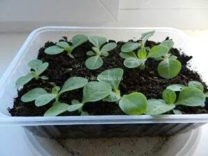 Поздний посев семян табака