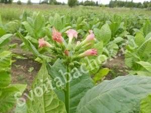 цветение табака самсун 85