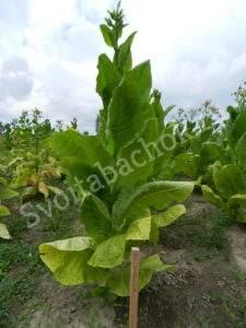 Сорт табака желтолист 36 фото