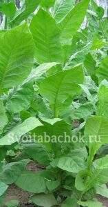 Турецкие сорта табака