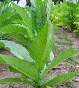 Табак Перик фото