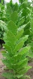 Сорт табака Прилеп фото