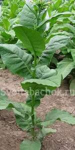 Болгарский табак